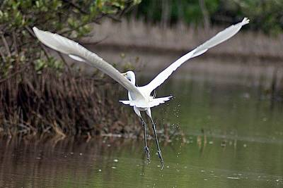 Egret In Flight Art Print by Joe Faherty