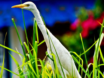 Egret In Grass Art Print