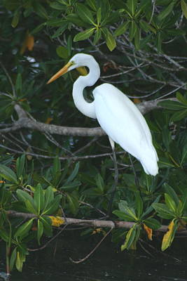 Photograph - Egret In Mangroves by Christopher Kirby