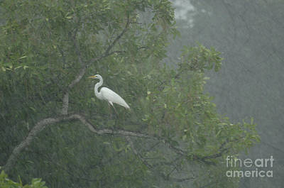 Egret In The Monsoons Print by Bob Christopher