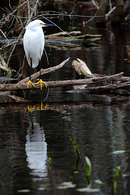 Photograph - Egret by Jason Smith