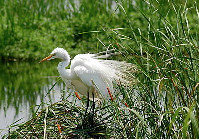 Art Print featuring the photograph Egret by Kathy Gibbons