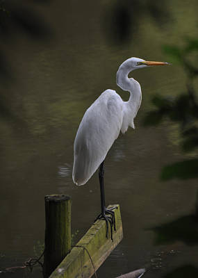 Egret Perch Dobbins Mill Pond - Egfbc3070a Art Print