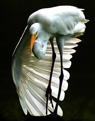 Photograph - Egret by Ronald Broome