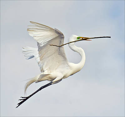 Egret With Nesting Material Art Print by Howard Knauer
