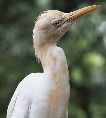 Photograph - Egret by Zoe Ferrie