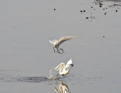 Photograph - Egrets Fighting by Chua  ChinLeng