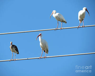 Egrets On A Wire II Art Print by Chris Andruskiewicz