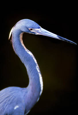 Photograph - Egretta Tricolor by Patrick M Lynch