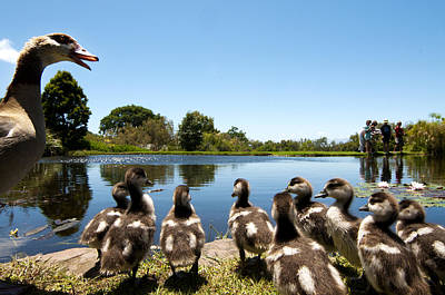 Cape Town Photograph - Egyptian Geese by Fabrizio Troiani