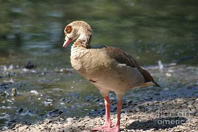 Photograph - Egyptian Goose by Living Color Photography Lorraine Lynch