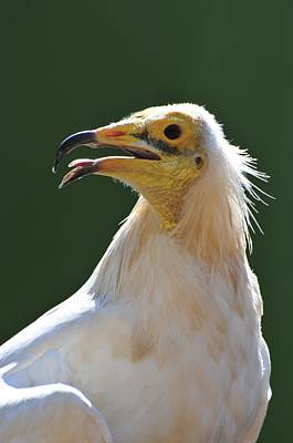 Birds Of Israel Photograph - Egyptian Vulture by Photostock-israel