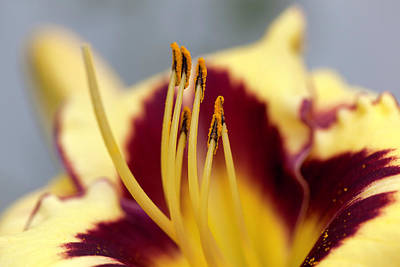 Day Lilies Photograph - El Desperado (hemerocallis) by Anna Yu