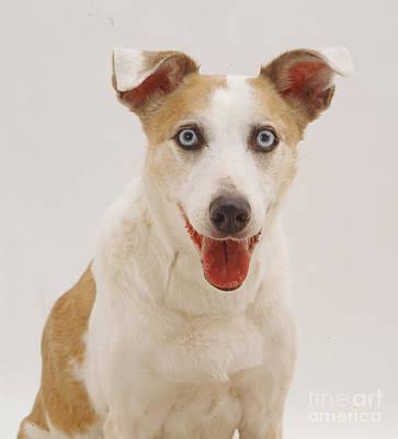 Lurcher Photograph - Elderly Collie Lurcher Dog by Jane Burton
