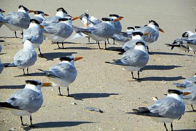 Elegant Terns Enjoying The Beach Art Print by Suzie Banks