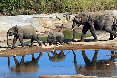 Photograph - Elelphant Reflections by Harvey Barrison