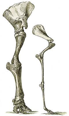1833 Photograph - Elephant And Camel Leg Bones, Artwork by Sheila Terry