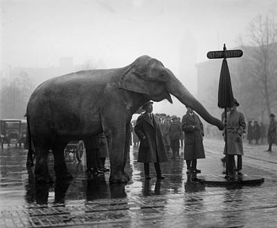 1920s Candid Photograph - Elephant, And Stop Sign On A Wet Day by Everett