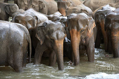 Lanka Photograph - Elephant Herd In River by Jane Rix