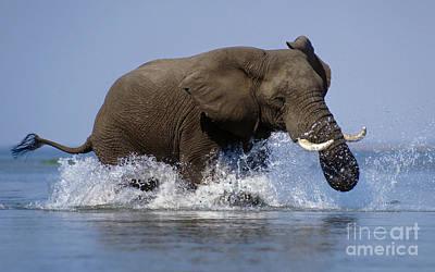 Photograph - Elephant In The Zambezi - Zimbabwe by Craig Lovell