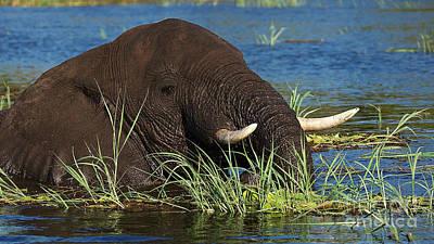 Photograph - Elephant On The Floodplains by Mareko Marciniak