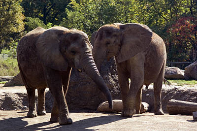Elephants At The Pittsburgh Zoo Art Print by Stacy Gold
