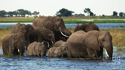 Photograph - Elephants Crossing Chobe River by Mareko Marciniak