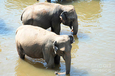 Art Print featuring the photograph Elephants In Water by Pravine Chester