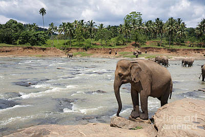 Lanka Photograph - Elephants by Jane Rix