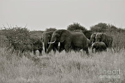 Elephants March Original