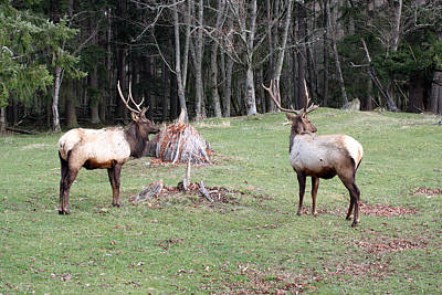 Photograph - Elk - 0051 by S and S Photo
