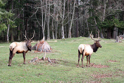 Photograph - Elk - 0053 by S and S Photo