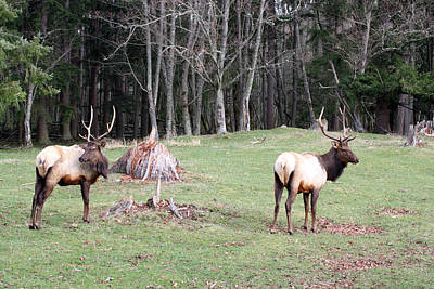 Photograph - Elk - 0054 by S and S Photo