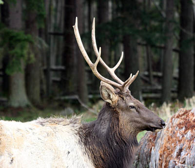 Photograph - Elk - 0056 by S and S Photo