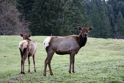 Photograph - Elk - 0060 by S and S Photo