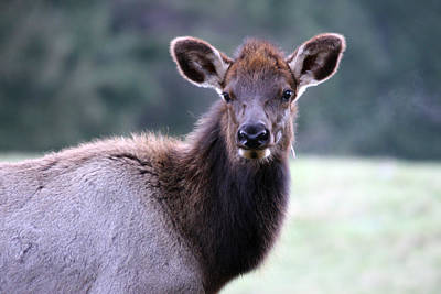 Photograph - Elk - 0061 by S and S Photo