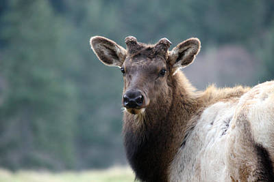 Photograph - Elk - 0062 by S and S Photo