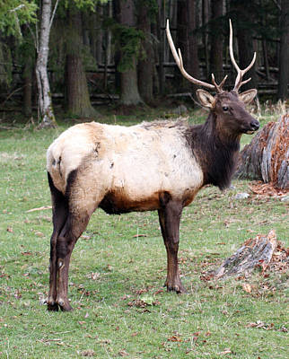 Photograph - Elk - 0063 by S and S Photo