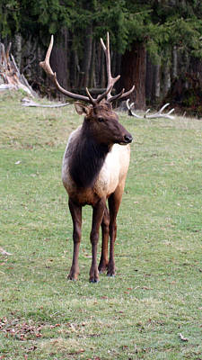 Photograph - Elk - 0064 by S and S Photo