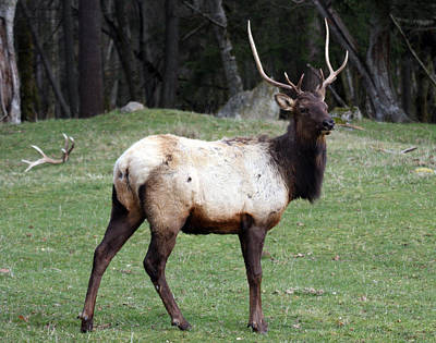 Photograph - Elk - 0068 by S and S Photo
