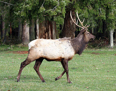Photograph - Elk - 0070 by S and S Photo