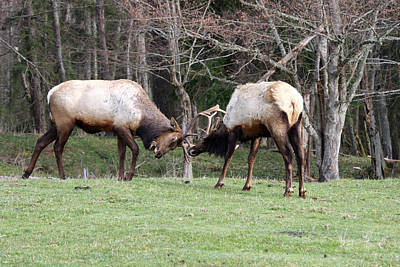 Photograph - Elk - 0078 by S and S Photo