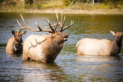 Elk Bugle Estes Lake Colorado Art Print by James BO  Insogna
