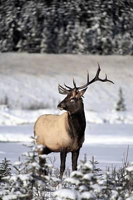 Monochrome Landscapes - Elk Cervus Canadensis Bull Elk During by Richard Wear