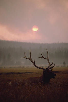 Elk Cervus Elaphus Resting In Tall Art Print