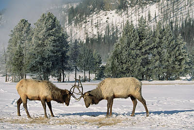 Butting Heads Photograph - Elk Cervus Elaphus Two Males Fighting by Konrad Wothe