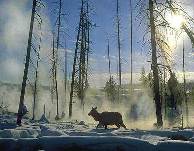 Photograph - Elk Female In The Snow With Steam by Tim Fitzharris