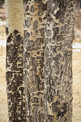 Elk Gnawed Horning Aspen Trees Fine Art Print  Art Print by James BO  Insogna