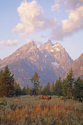 Grazing Elk Photograph - Elk Graze Below The Grand Teton by Gordon Wiltsie