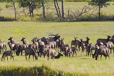 Elk Herd In The Bitterroot Print by Merle Ann Loman